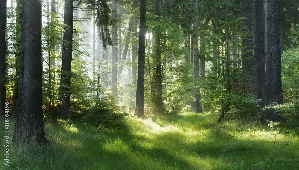 Naturalny las świerkowych drzew, promienie słoneczne przez mgłę tworzą mistyczną atmosferę <span>plik: #118164196 | autor: AVTG</span>