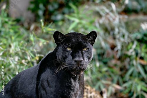 Obraz na plátně Jaguar