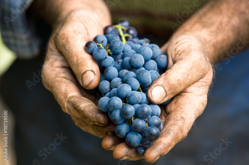 Hand holding fresh bunch of grapes