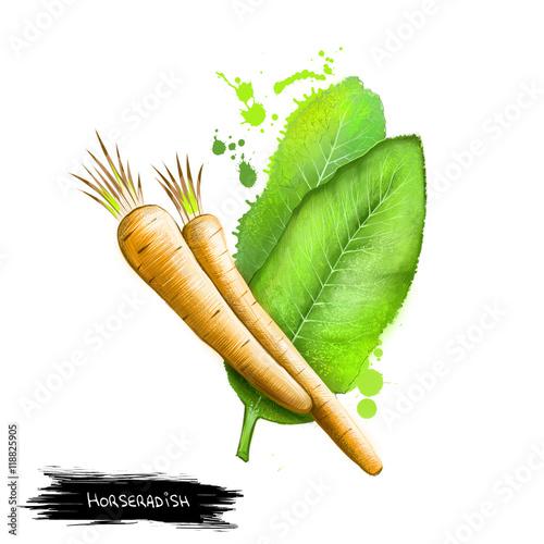 Photo Horseradish. Hand drawn illustration. Digital art