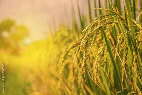 Fotografia rice field