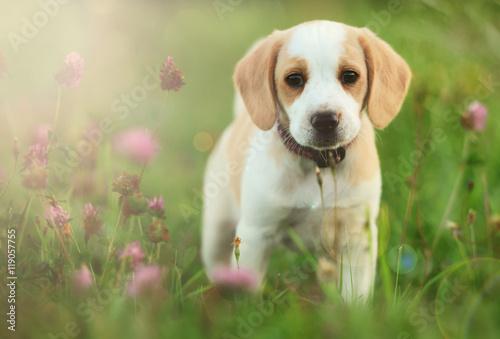 Fotografie, Obraz Cute beagle dog puppy