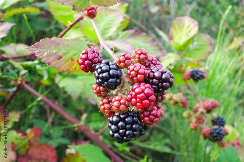Wallpaper Mural Wild blackberry bush