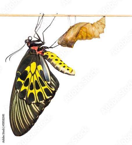 Fényképezés New born Common Birdwing butterfly emerge from cocoon