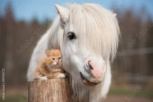 Canvas Print Little red kitten with white shetland pony