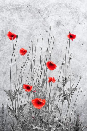 Makowy tło z betonową ścianą. Kwitnących kwiatów maku na ścianie grunge. Natury tło z kopii przestrzenią.