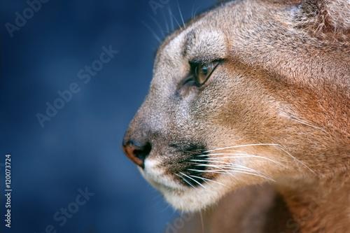 Beautiful puma portrait close up on blue background