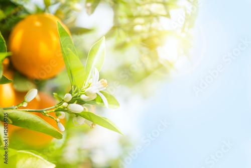 Spring in a orange garden.