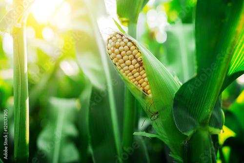 Foto Frischer Pfeiler des reifen Mais auf grünem Feld bei Sonnenuntergang