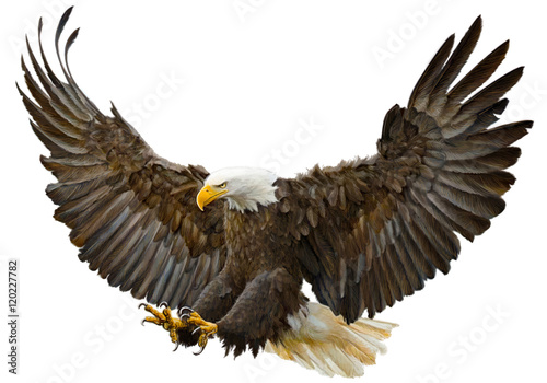 Fényképezés Bald eagle swoop landing hand draw and paint on white background vector illustration