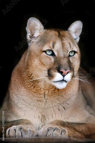 Puma portrait on black background