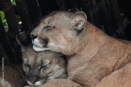 Chilean cougar (Puma concolor).