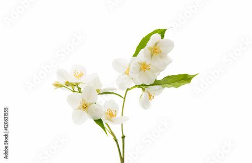 Fotografia jasmine flower isolated