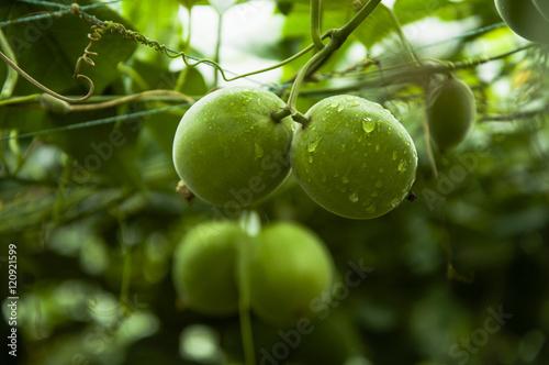 Fototapeta Momordica grosvenor fruits
