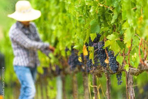 Fotografia Grape harvest at the world famous and sensational taste of wine