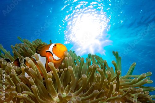 Leinwand Poster Ocellaris clownfish
