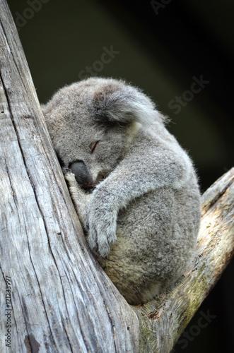 Cute Australian Koala (Phascolarctos cinereus) sleeping in a gum tree. Australia's iconic marsupial mammal.