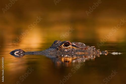 American Alligator, Alligator mississippiensis, NP Everglades, Florida, USA. Crocodile in the water. Crocodile head above water surface. Alligator with golden evening sun. Alligator in the nature.