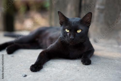 Obraz na plátne A black cat on street