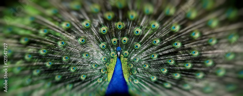 Fotografia Portrait of beautiful peacock with feathers out