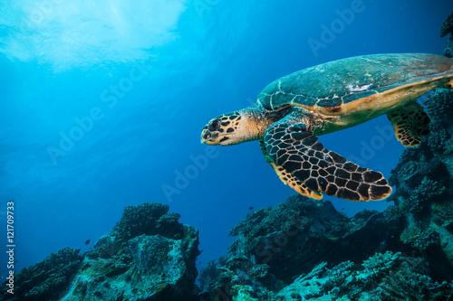 Fototapeta Hawksbill Sea Turtle in Indian ocean