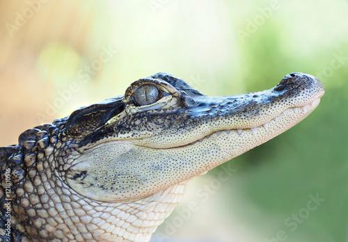 Closeup of a Young Alligator