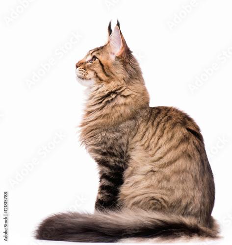 Fototapeta premium Portret domowego czarnego pręgowanego kotka Maine Coon - 5 miesięcy. Ładny młody kot siedzi z przodu. Śliczny kotek na białym tle.