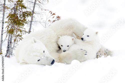 Canvas Print Polar bear mother (Ursus maritimus) with two cubs, Wapusk National Park, Manitob