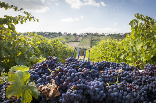 Stampa su Tela Grape harvest between a vineyard. Blue sky background with clouds