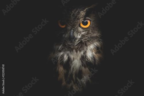 Fototapeta owl