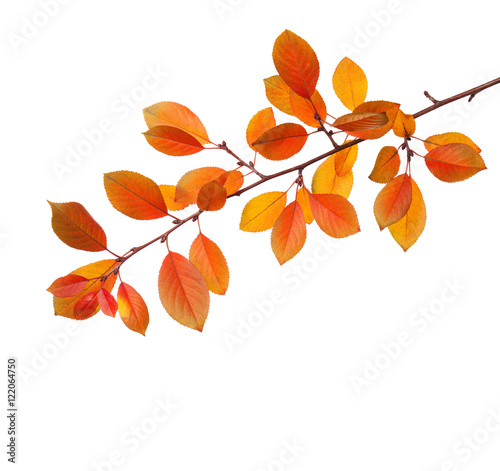 Branch of autumn leaves (Cherry plum) isolated on a white background.