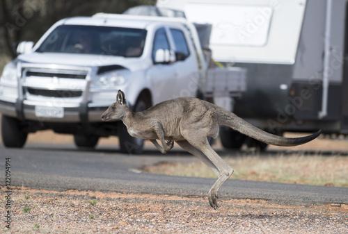 kangaroo crossing road