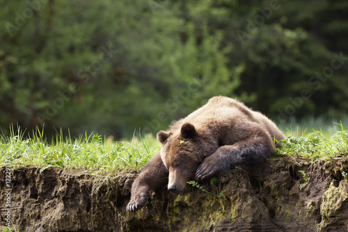 Canvas Print Brown bear  resting