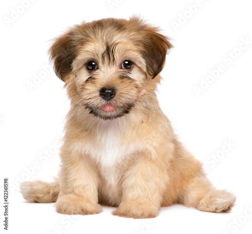 Fotografia Cute sitting havanese puppy dog - isolated on white