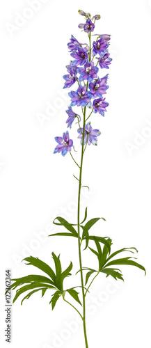 Photo Flower of Delphinium (Larkspur), isolated on white background
