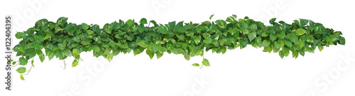 Stampa su Tela Heart shaped leaves vine plant bush of Devil's ivy or golden pothos  isolated on white background, clipping path included