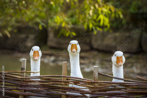Three funny white geese - Funny image with three domestic geese behind a wattled fence, looking in the same direction.