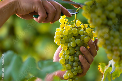 Fotografia Hands Cutting White Grapes from Vines