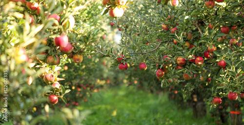Fotografia, Obraz Ripe Apples in Orchard ready for harvesting