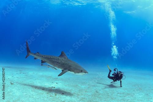Canvas Print Shark in Bahamas