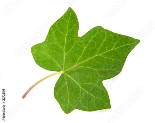 Photo Green Ivy leaf