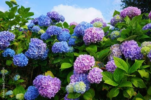 Fototapeta Purple, blue and pink heads of hydrangea flowers