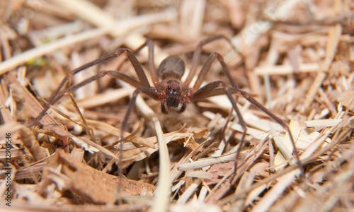 Brown Recluse, a venomous spider in dry winter grass