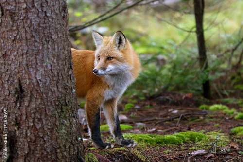 Fototapeta A Red fox (Vulpes vulpes) with a bushy tail peering out from behind a tree in au