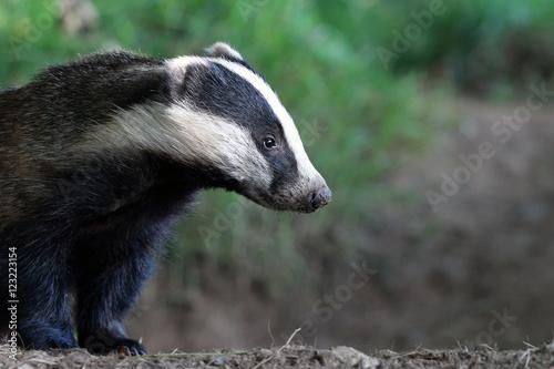 Cuadros en Lienzo Badger