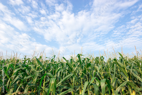 Canvas Print corn field maize close up, cornfield maize in the blue sky background with cloud