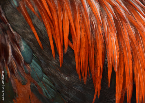 Close up of red and greenof chicken feathers