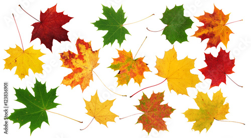 Red, green and yellow maple leaves on white background