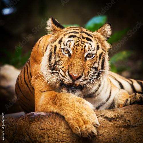 Tiger, portrait of a bengal tiger Thailand