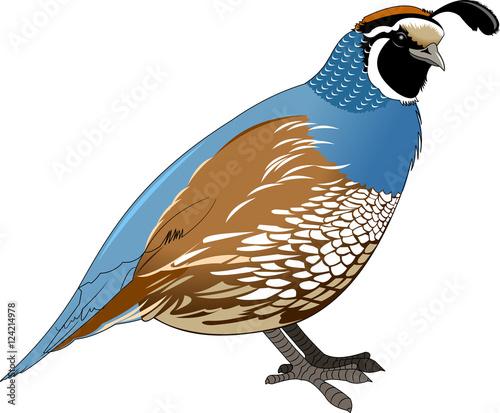 Photo quail